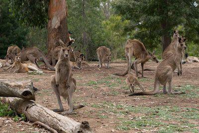 Kangoeroes in Lone Pine Park