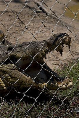 Krokodil op Koorana Crocodile Farm