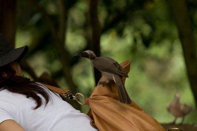 Helmeted Friar Bird in Kuranda Birdworld