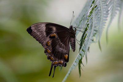 A butterfly in Kuranda