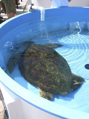 Leatherback schildpad
