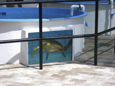 Loggerhead schildpad