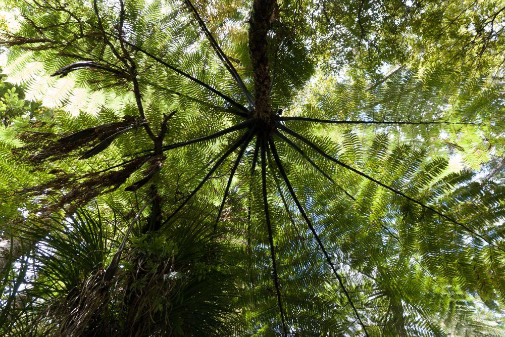 Varen in Waipoua Forest