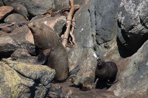 Zeehonden met kleintje Tauranga Bay