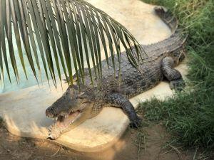 Zonnende krokodil