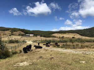 Koeien op het pad naar Wharariki Beach