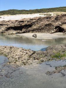 Zeehonden op Wharariki Beach