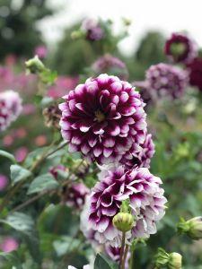 Mooie dahlia's - Lavendel Farm Wanaka