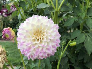 Mooie bloem - Lavendel Farm Wanaka
