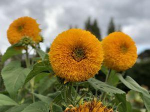 Soort zonnebloemen? Lavendel Farm Wanaka