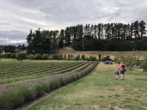 Lavendel veld - Lavendel Farm Wanaka