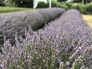 Lavedel veld - Lavendel Farm Wanaka