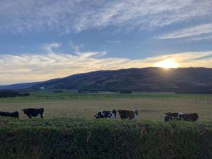Koeien in achtertuin - Tarras