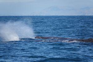 2 spermwhales