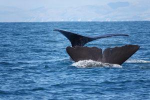 Dubbele staart van spermwhales